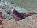 Flagfin shrimpgoby (Mahidolia mystacina) (48852626318).jpg