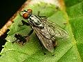 Flesh Fly (28728064950).jpg