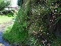 Fleurs du Salat à Saint-Girons 1.jpg