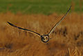 Flickr - Rainbirder - Short-eared Owl (Asio flammeus).jpg