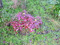 Flickr - brewbooks - Mahonia aquifolium Discovery Park (2).jpg