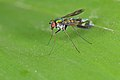Flickr - ggallice - Long-legged fly.jpg