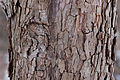Flowering Dogwood Cornus florida 'First Lady' Bark Detail 3008px.jpg