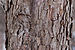 Flowering Dogwood Cornus florida 'First Lady' Bark Detail 3008px.jpg