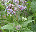 Flowers of a Borago-2.jpg