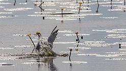 Fluss-Seeschwalbe im Vogelschutzgebiet Federseeried (DE-7923-401) beim Fischfang01.jpg