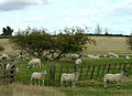 Following like sheep - geograph.org.uk - 59890.jpg