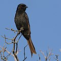 Fork-tailed Drongo, Dicrurus adsimilis, at Marakele National Park, Limpopo, South Africa (32903036198).jpg