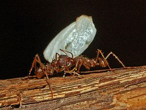 Fungus-growing ants - Atta mexicana workers carrying a leaf section