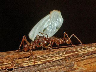 Fungus-growing ants Tribe of ants