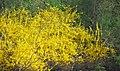 Forsythia sp. (Newark, Ohio, USA) 1 (49083124081).jpg
