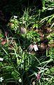 Fritillaria meleagris pink ^ green - Flickr - peganum.jpg