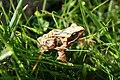 Frog in grass.JPG