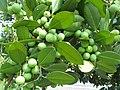 Fruits of Calophyllum brasiliense.jpg