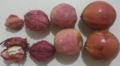Frutos de amendoeira-da-praia.png