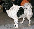 Fryzyjski pies wodny u68.jpg