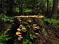 Fungi IMG 4926^.jpg