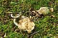 Fungus, Clandeboye Wood (5) - geograph.org.uk - 914158.jpg