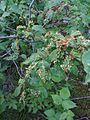 Galles sur des feuilles causé par des insectes ou des mites... (4798671554).jpg