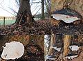 Ganoderma adspersum or G. australe or G.tornatum (GB= Polyporus Australis or Southern Bracket, D= Wulstige Lackporling, F= Ganoderme d'Europe, NL= Dikrandtonderzwam) brown spores and causes white rot, near Leeren Doed - panoramio.jpg