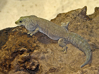 Female Standing's Day Gecko