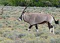 Gemsbok (Oryx gazella) (32419381710).jpg