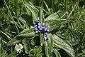 Gentiana cruciata, Foncine - img 26118.jpg