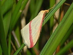 240px geometridae   rhodometra sacraria