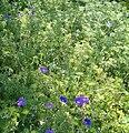 Geranium incanum KirstenboschBotGard09292010B.jpg