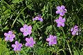 Geranium yesoense var. nipponicum.JPG