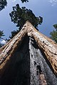 Giant sequoia in California.jpg