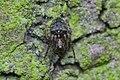 Gibbaranea gibbosa male Bytom 2.jpg