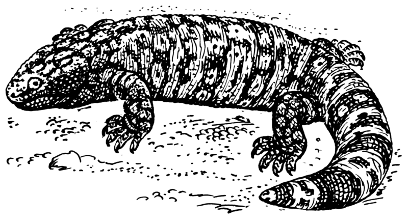 Gila Monster Drawing