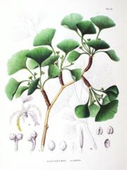 Ginkgo, Illustration.