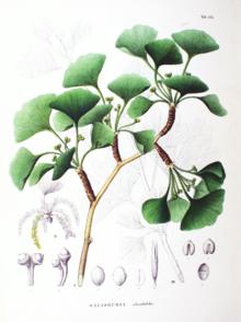 planche de feuilles de ginkgo
