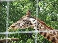 Giraffe (2771900977).jpg