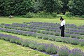 Girl in Lavander field - Laslovarga (3).jpg