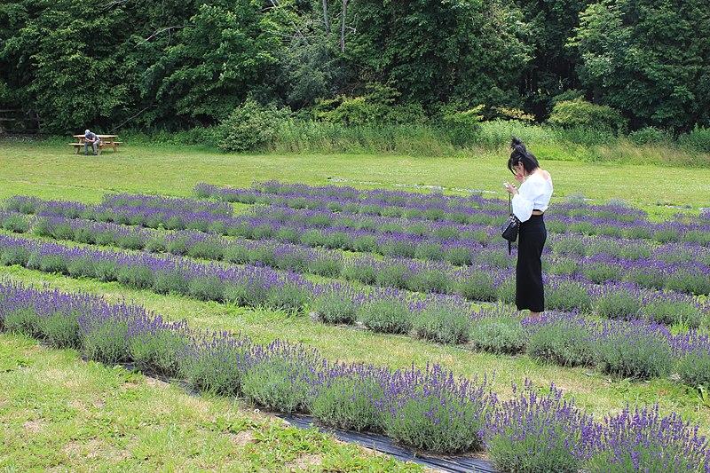 File:Girl in Lavander field - Laslovarga (3).jpg