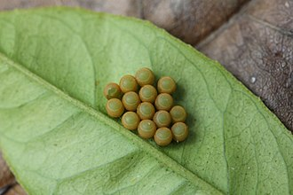 Glaucias amyoti - Glaucias amyoti egg capsules on the underside of a lemon (Citrus limon) leaf