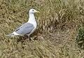 Glaucous-winged Gull at nest.jpg