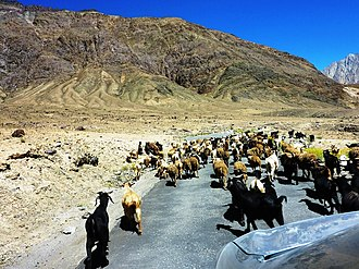 Goats blocking road. Ladakh Goats blocking road. Ladakh.jpg