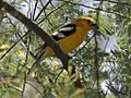 Golden-bellied Grosbeak RWD.jpg