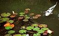 """Golden Gate Park - Japanese Tea Garden """"Fish & Pads"""" (1105926455).jpg"""