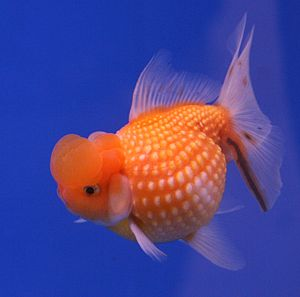 "A pearl scale goldfish from The 6th ""Pram..."