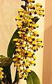 Gomesa echinata -台南國際蘭展 Taiwan International Orchid Show- (40910944932).jpg
