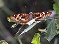 Gorges du Sègre 21072019 01 Papillon 6492.jpg