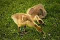 Goslings-Hawrelak-Park-Edmonton-Alberta-Canada-01-A.jpg