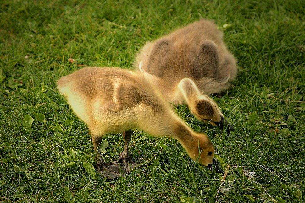 Goslings-Hawrelak-Park-Edmonton-Alberta-Canada-01-A