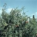 Granaatappelboom met vruchten, Bestanddeelnr 255-9357.jpg