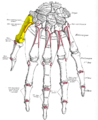 Gray220 - First metacarpal bone.png